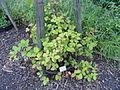 Rubus pallidus - Botanischer Garten, Frankfurt am Main - DSC02498.JPG