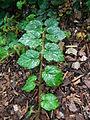 Rubus tricolor (turion).JPG