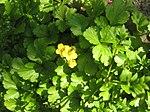 Ruhland, Grenzstr. 3, Golderdbeere im Garten, blühende Pflanzen, Frühling, 03.jpg