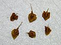 Rumex crispus fruits.jpg
