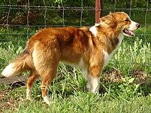 Easiest Large Dog Breeds