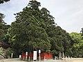 "Sacred tree ""Ayasugi"" in Kashii Shrine 20170502.jpg"