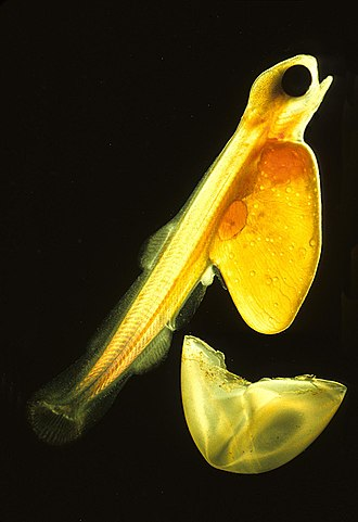 Egg - Salmon fry hatching. The larva has grown around the remains of the yolk and the remains of the soft, transparent egg are discarded.