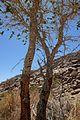 Salvadora persica-Brandberg (3).jpg