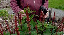 Salvia confertiflora httpsuploadwikimediaorgwikipediacommonsthu