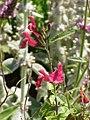 Salvia elegans1.jpg