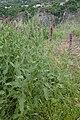 Salvia nemorosa kz06.jpg