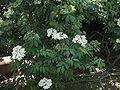 Sambucus nigra01.jpg