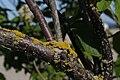 Sambucus racemosa 6270.JPG