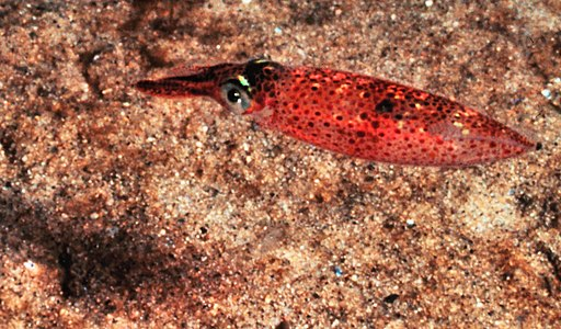 squid swimming over sand