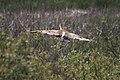 Sandhill Crane - panoramio - NaturesFan1226 (1).jpg