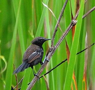 Marsh antwren species of bird