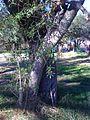 Sapium haematospermum.jpg
