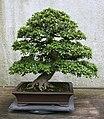 Satsuki Azalea (Rhododendron) Gyoten (3504614437).jpg