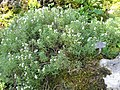 Satureja montana (Samoens).jpg