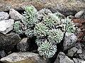 Saxifraga sempervivum 'Afrodite'.JPG