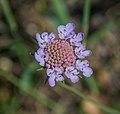 Scabiosa columbaria 06.jpg