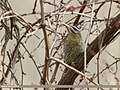 Scaly-bellied Woodpecker (Picus squamatus) (33613527144).jpg