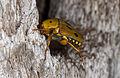 Scarab beetle (16314486386).jpg