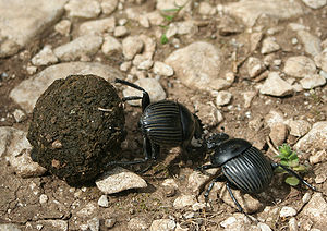 Dung beetle - Two dung beetles fighting over a ball of dung