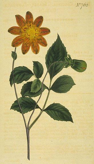 """Dahlia - Dahlia coccinea, parent of European """"single"""" dahlias (i.e., displaying a single row of ligulate florets)"""