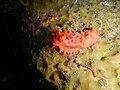 Scarlet Dwarf Sea Cucumber (Lissothuria nutriens) 1.jpg