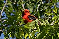 Scarlet Tanager (male) Sabine Woods High Island TX 2018-04-26 08-48-03 (40283744180).jpg