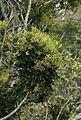 Schefflera umbellifera02.jpg