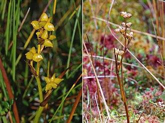 Scheuchzeria - Image: Scheuchzeria Palustris Coll