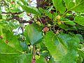 Schildau Maulbeerbaum Fruechte rot 1.jpg