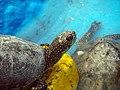 Schildkröten لاکپشت 06.jpg