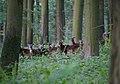 Schlangen - 2014-07-31 - Hohlestein, Ovis orientalis musimon (03).jpg