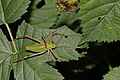 Schmidt's bright bush cricket (Poecilimon schmidti) male.jpg