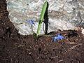 Scilla siberica 20110402-2.jpg
