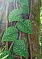 Scindapsus pictus (14594626636).jpg