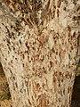 Sclerocarya birrea bark.jpg