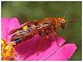 Scoliid wasp (15117347538).jpg