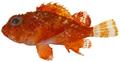 Scorpaena albifimbria - pone.0010676.g040.png