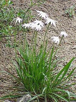 Scorzonera purpurea rosea0.jpg
