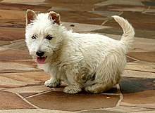 """A white Scottish Terrier with its back turned, although its head is turned back towards the camera."""