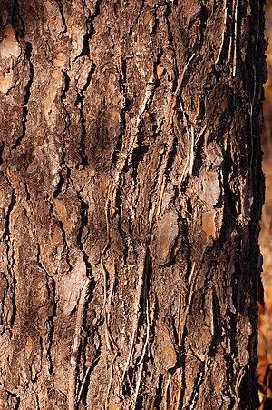 Pinus virginiana - Image: Scrub Pine Pinus virginiana Trunk Bark 2000px