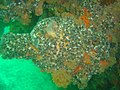 Sea squirt with striped anemones at Roman Rock DSC09958.JPG