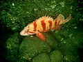 Sebastes nigrocinctus by NOAA.jpg