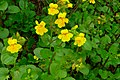 Seep-spring Monkeyflower (3419913157).jpg