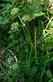 Selinum pyreanaeum 1.jpg