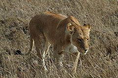 Serengeti Lion 2.jpg