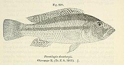 Serranochromis thumbergi.jpg