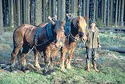 Rückepferde bei der Waldarbeit im Siebengebirge