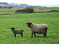 Sheep and Lamb at Carnkirk - geograph.org.uk - 1728476.jpg