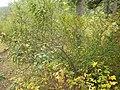Shepherdia canadensis (7996250990).jpg